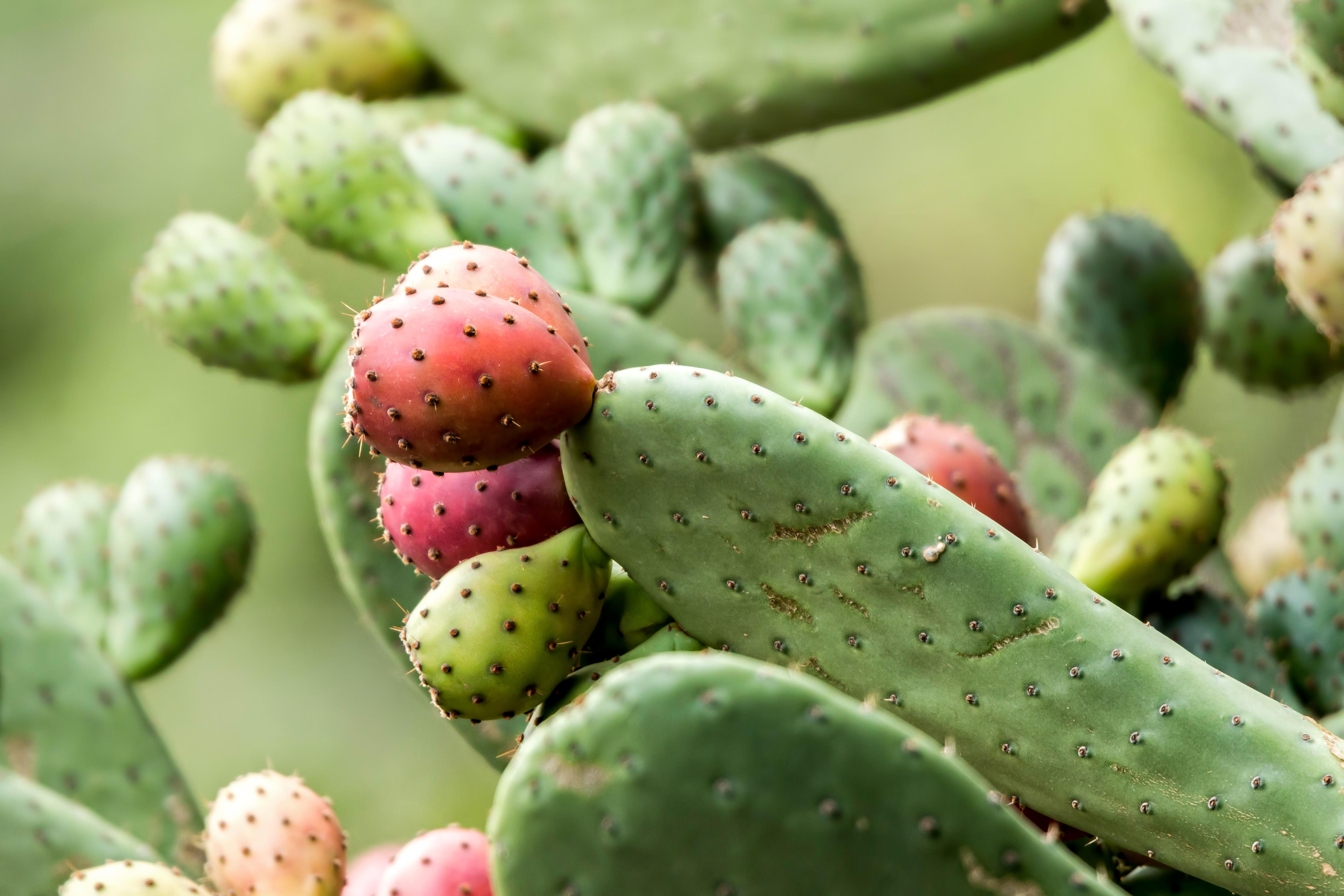 Nopal Cactus